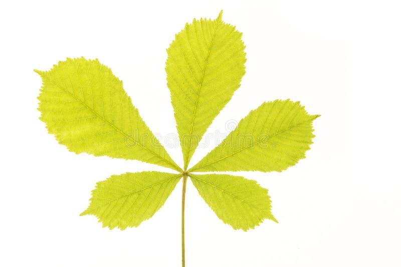 Vers zacht groen chesnutblad stock afbeeldingen