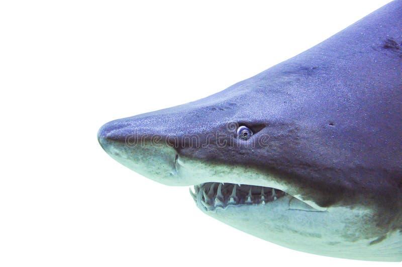 Versanden Sie hohes Isolat des Tigerhai Carchariasstier Underwater-Abschlusses stockbild