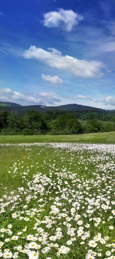 Verschönern Sie mit Gänseblümchen auf einer Wiese am sonnigen Tag landschaftlich lizenzfreie stockfotografie