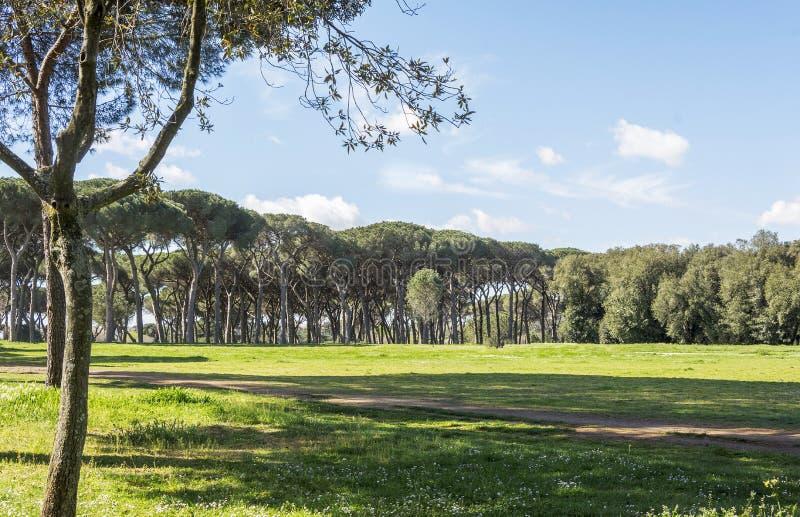 Verschönern Sie mit Kiefern landschaftlich stockfoto