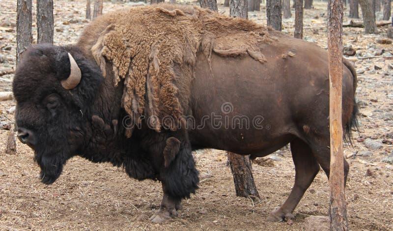 Verschütten des Bisons stockbilder