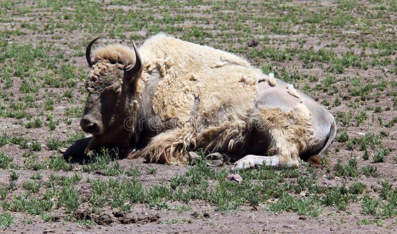 Verschütten des weißen Bisons lizenzfreie stockfotografie