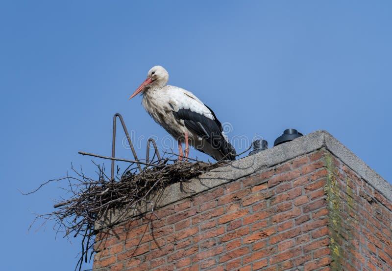 Verschachtelung des weißen Storchs lizenzfreies stockbild