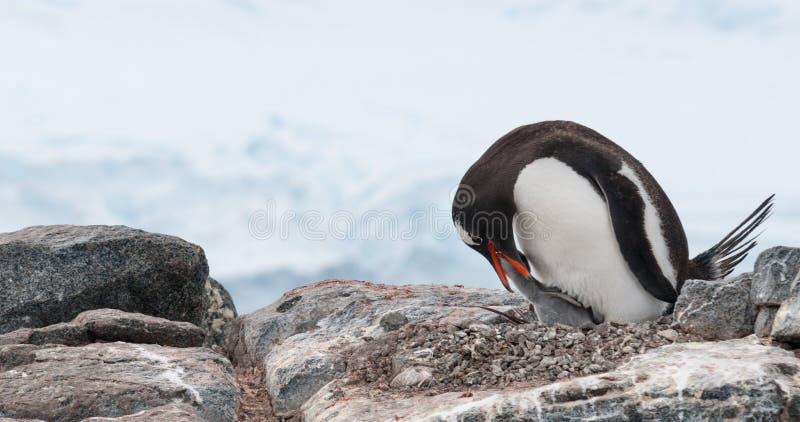 Verschachtelung erwachsener Gentoo-Pinguin, der kleines Küken, antarktische Halbinsel einzieht lizenzfreies stockfoto