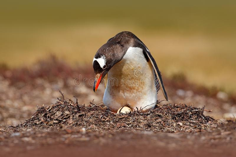 Verschachtelungspinguin auf der Wiese Gentoo-Pinguin in den Eiern des Nestesprits zwei, Falkland Islands Tierverhalten, Vogel im  lizenzfreie stockfotos
