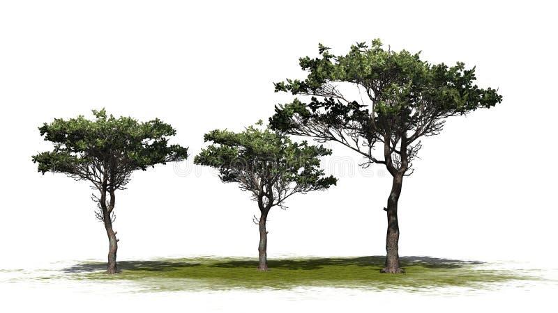 Verscheidene diverse Italiaanse bomen van de Steenpijnboom royalty-vrije illustratie