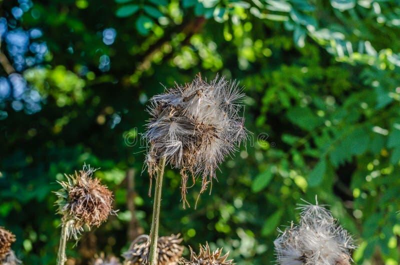 Verscheidene droge distelknoppen Carduus Nadruk op de grootste bloem Van beneden naar boven het schieten Daglicht royalty-vrije stock afbeeldingen