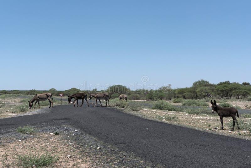 Verscheidene ezels kruisen een asfaltweg in Botswana stock afbeeldingen