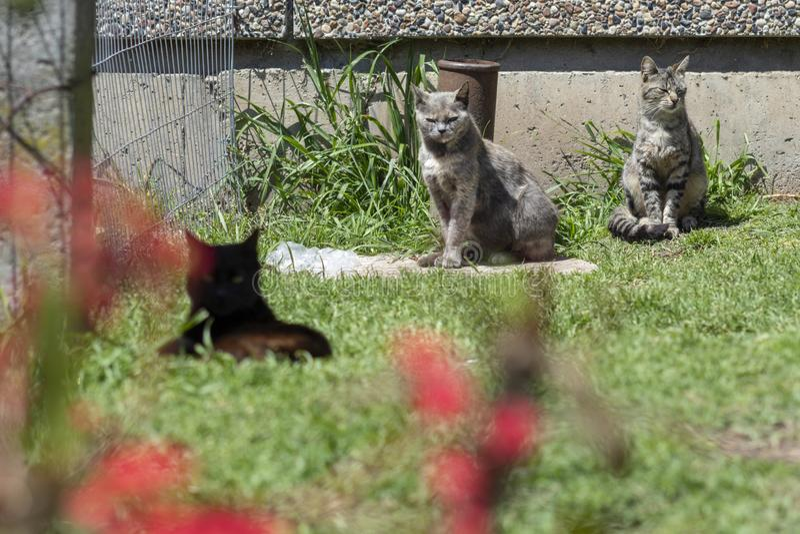 Verscheidene gestreepte katkatten in de tuin stock afbeelding