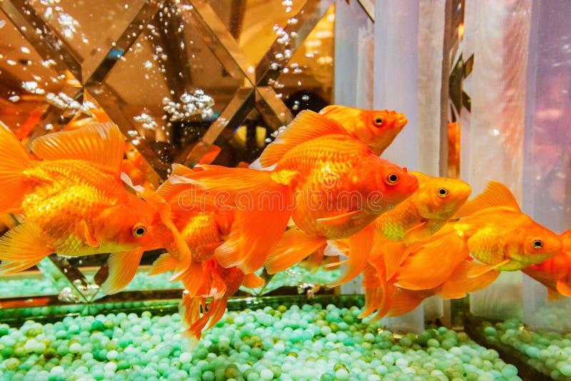 Verscheidene gouden vissen royalty-vrije stock foto's