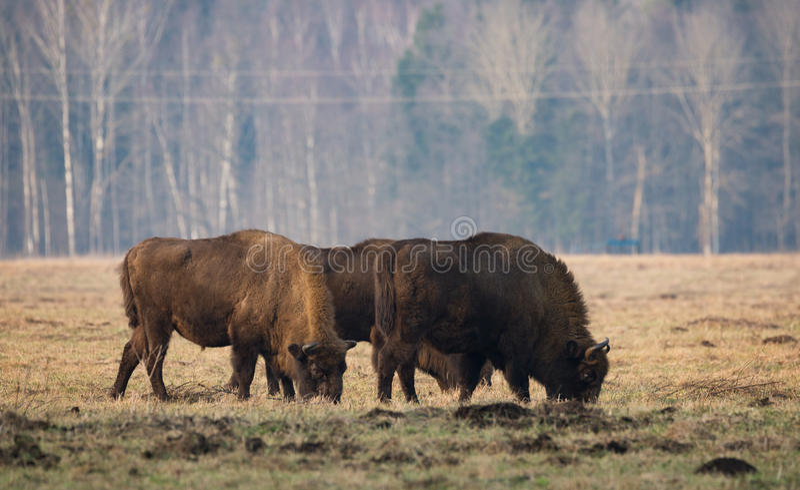 Verscheidene Grote aurochs die op het gebied weiden Één of andere grote bruine bizon op de bosachtergrond stock afbeelding