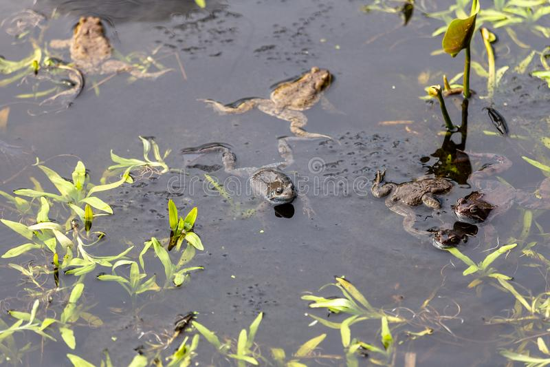 Verscheidene kikkers in de vijver Grasbladeren stock afbeeldingen