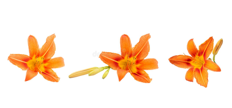 Verscheidene kleuren van sinaasappel daylily op een wit geïsoleerde achtergrond Mooie bloemen Decoratieve punten stock afbeeldingen