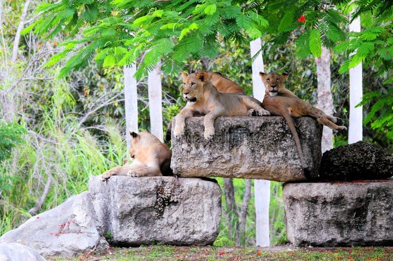 Verscheidene leeuwen onbeweeglijk royalty-vrije stock foto's