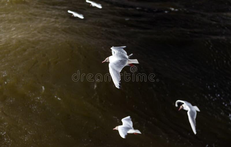 Verscheidene meeuwen met witte vleugels vliegen over het water, hoogste mening, vogels stock afbeeldingen