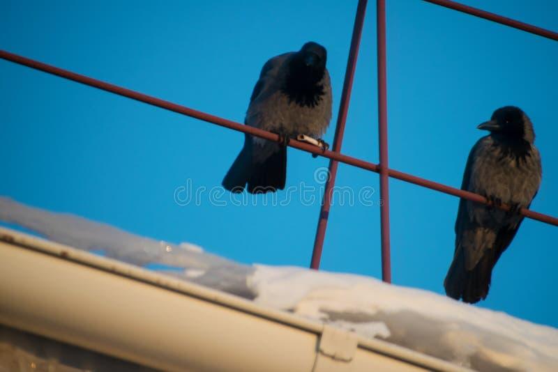 Verscheidene zwarte kraaien die op het dak van het huis tegen de blauwe hemel zitten stock fotografie