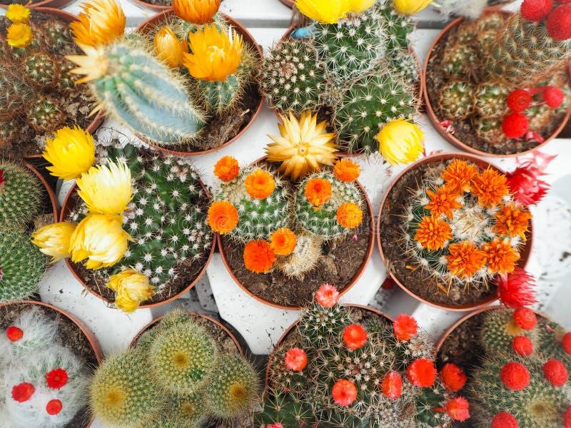 Verscheidenheid van de kleine installaties van de echinopsiscactus met kleurrijke bloemen royalty-vrije stock afbeeldingen