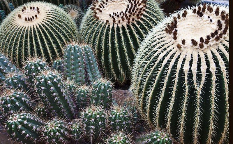 Verscheidenheid van dichte omhooggaand van Echinocacti stock fotografie