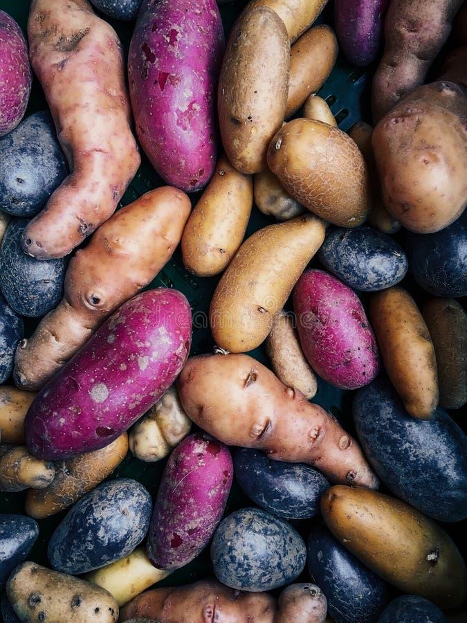 Verscheidenheid van multicolored aardappels in natuurlijk licht royalty-vrije stock afbeeldingen