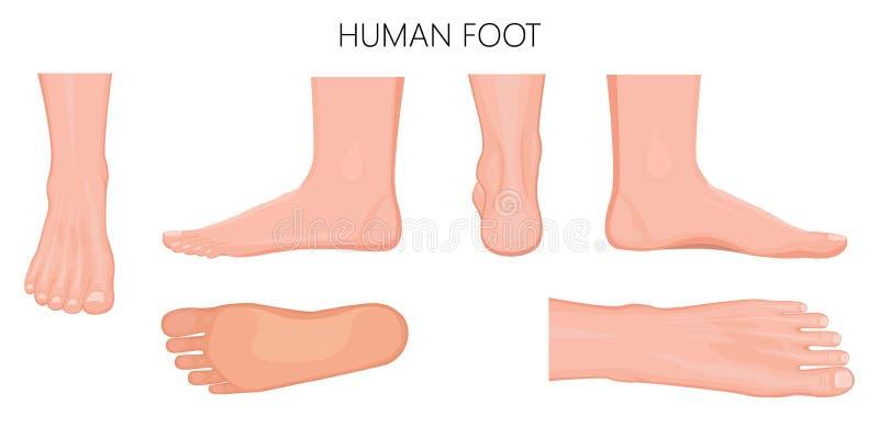 Verschiedene Ansichten eines menschlichen Fußes auf weißem background_Anatomy stock abbildung