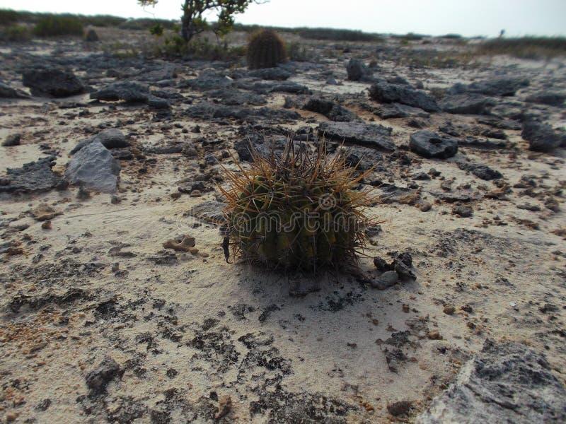 Verschiedene Arten, Spezies und Klassen des Kaktus und seiner Bearbeitung lizenzfreie stockbilder