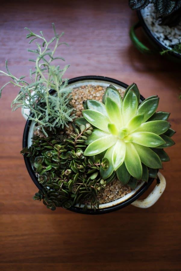 Verschiedene Crassulaceaeanlagen in einem Kessel mögen Topf lizenzfreies stockbild