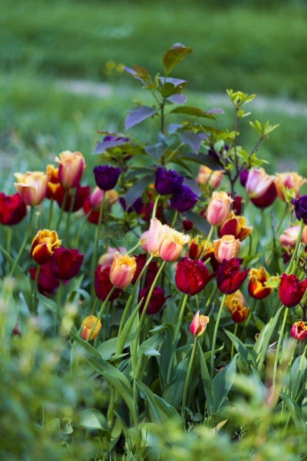 Verschiedene Farben von Tulpen in botanischem Garten Bukarests stockfotografie