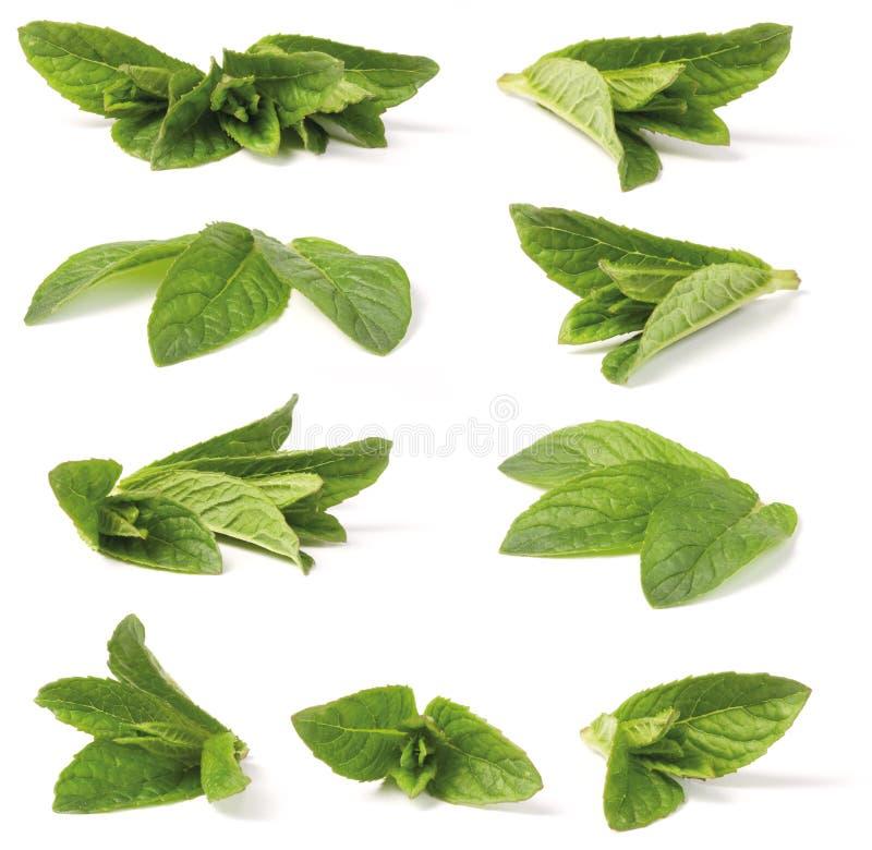 Verschiedene grüne Pfefferminz lizenzfreie stockfotografie