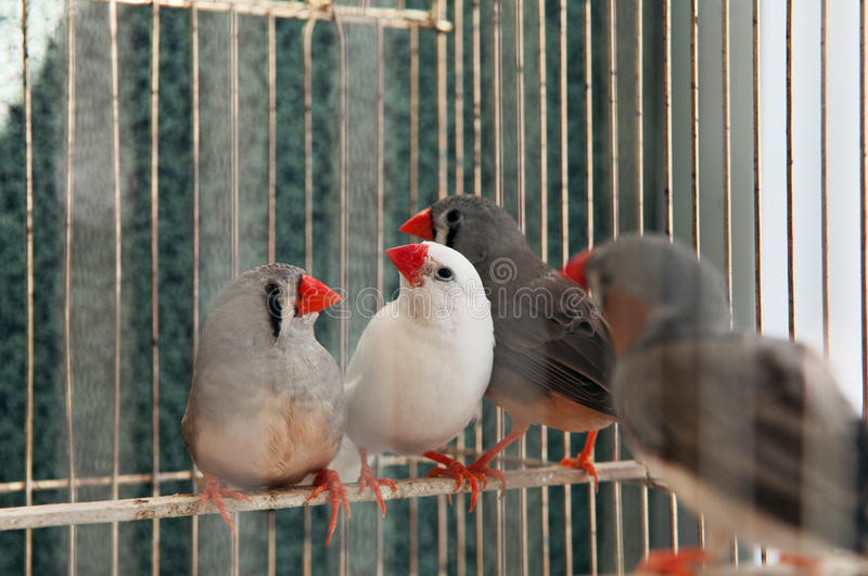 Verschiedene Kanarienvögel lizenzfreies stockfoto