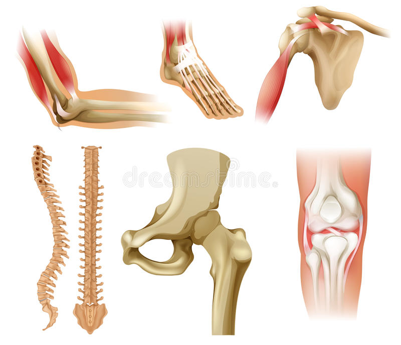 Verschiedene Menschliche Knochen Vektor Abbildung - Illustration von ...