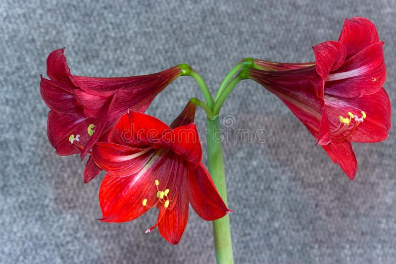 Verschiedene Pläne Blumen-Amarylliss stockfotos