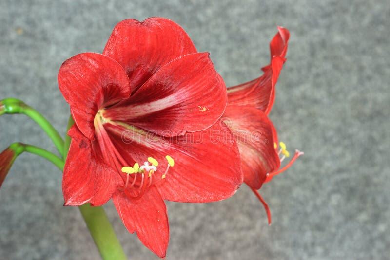 Verschiedene Pläne Blumen-Amarylliss lizenzfreie stockbilder