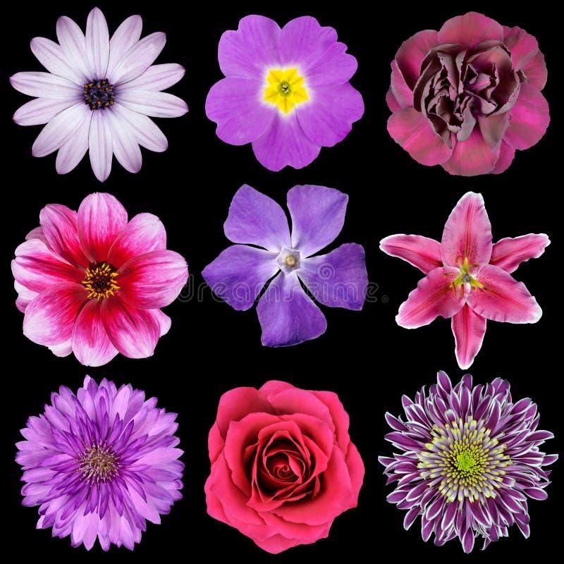Verschiedene rosafarbene, purpurrote, rote Blumen getrennt lizenzfreies stockbild