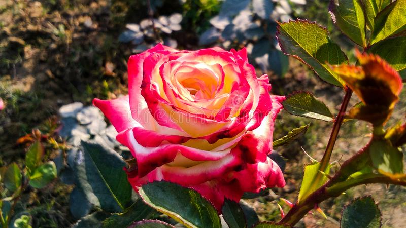 Verschiedene Schatten schöner Rosen-Blume stockbild