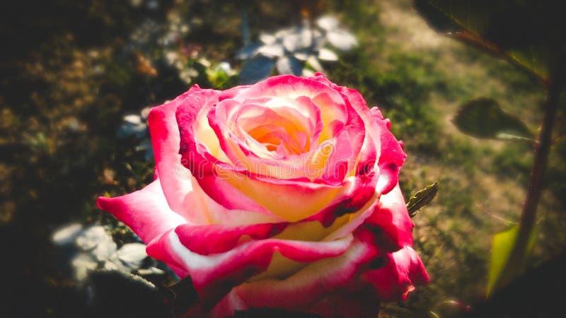 Verschiedene Schatten schöner Rosen-Blume stockfotografie