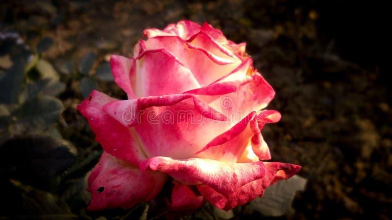 Verschiedene Schatten schöner Rosen-Blume lizenzfreie stockbilder