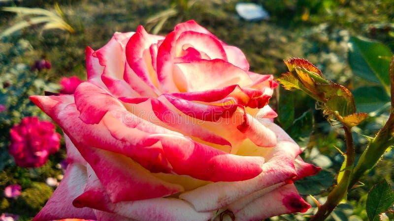Verschiedene Schatten schöner Rosen-Blume stockfoto