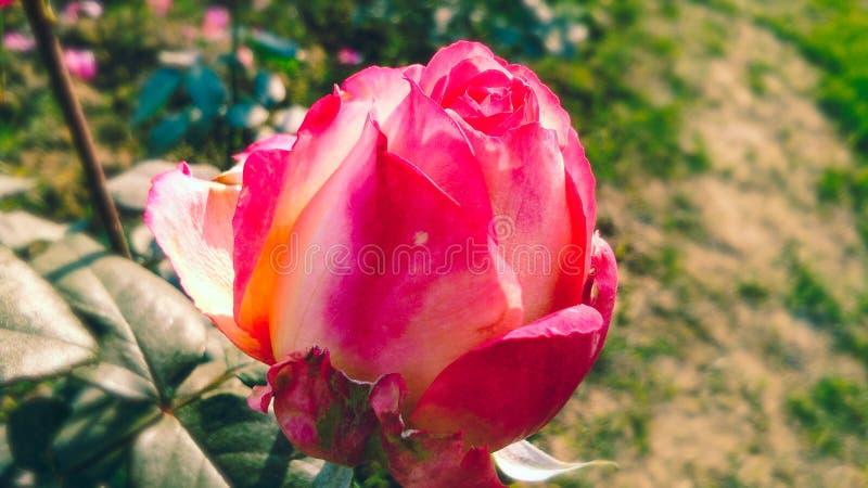 Verschiedene Schatten schöner Rosen-Blume lizenzfreies stockbild