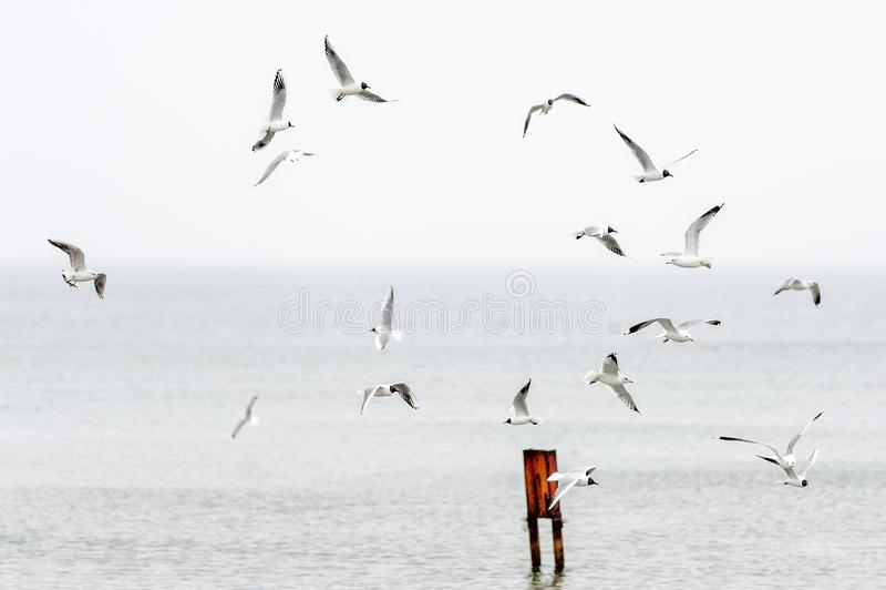 Verschiedene Spezies von den Seemöwen, die über die Ostsee fliegen stockbilder