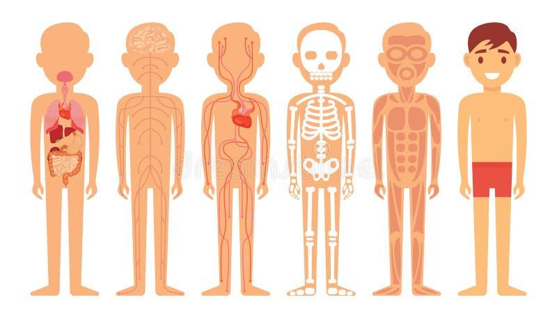 Verschillende systemen van de illustratie van het menselijk lichaamsdiagram vector illustratie