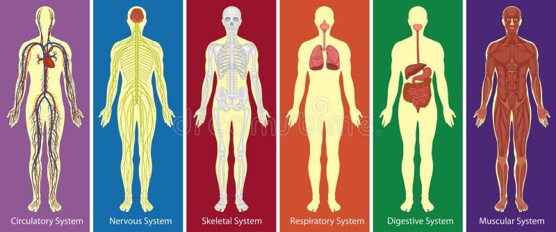 Verschillende systemen van menselijk lichaamsdiagram royalty-vrije illustratie