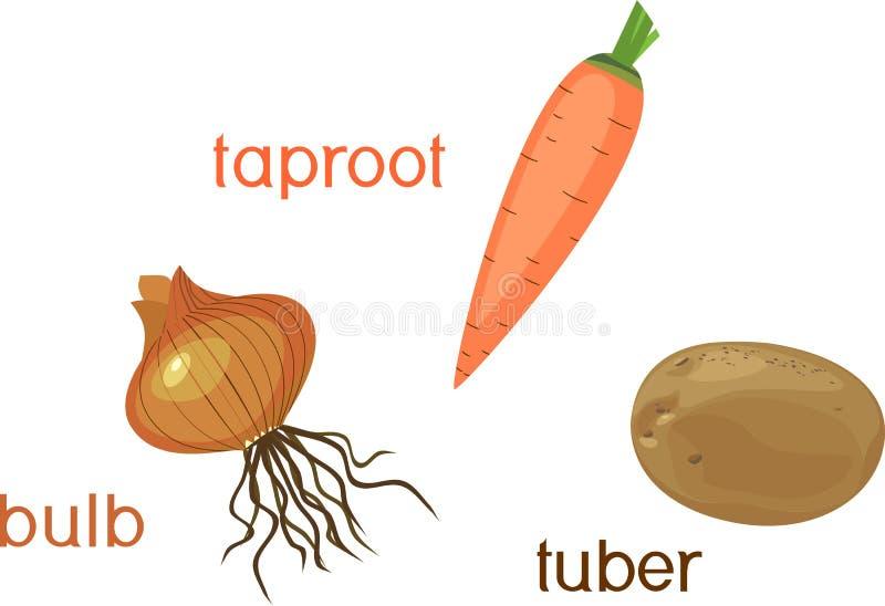 Verschillende types van wortelgewassen Installaties met bladeren en wortelsysteem royalty-vrije illustratie