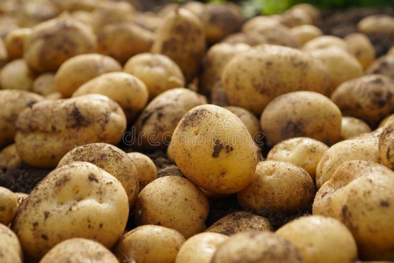 Verse aardappel het liggen oogst en natuurvoeding ter plaatse, goede stock fotografie
