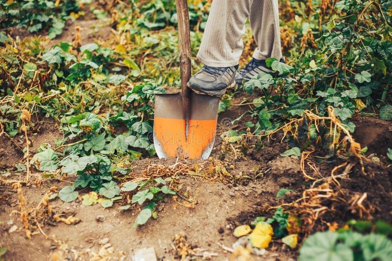 Verse Aardappels Dig From Ground in het landbouwbedrijf Aardappel het oogsten royalty-vrije stock foto's