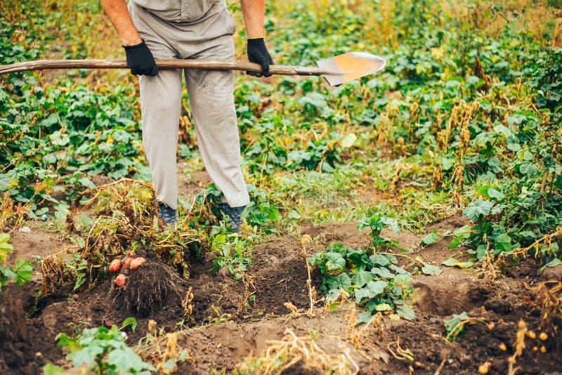 Verse Aardappels Dig From Ground in het landbouwbedrijf Aardappel het oogsten stock fotografie