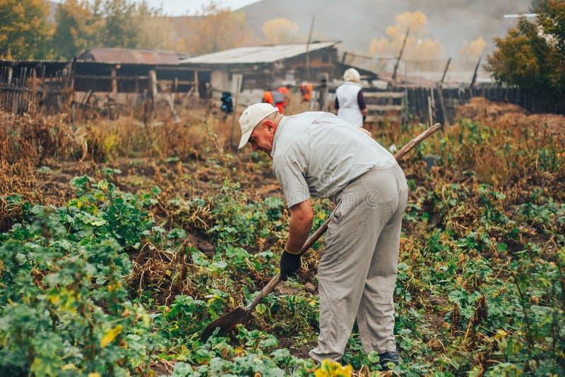 Verse Aardappels Dig From Ground in het landbouwbedrijf Aardappel het oogsten royalty-vrije stock foto