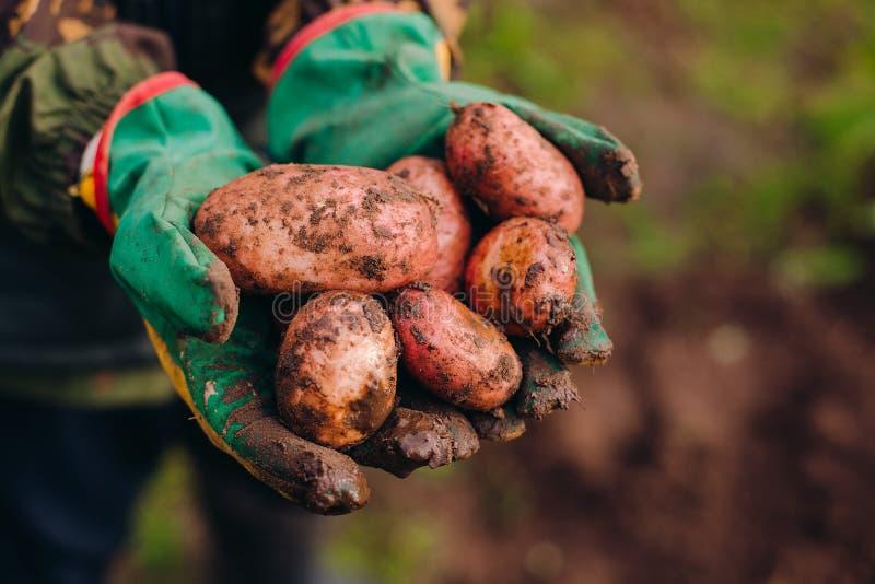 Verse aardappels in farmer& x27; s handen Soilworkconcept stock afbeelding
