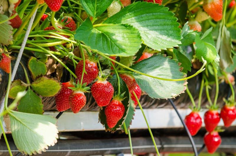 Download Verse aardbeien stock afbeelding. Afbeelding bestaande uit groen - 54080561