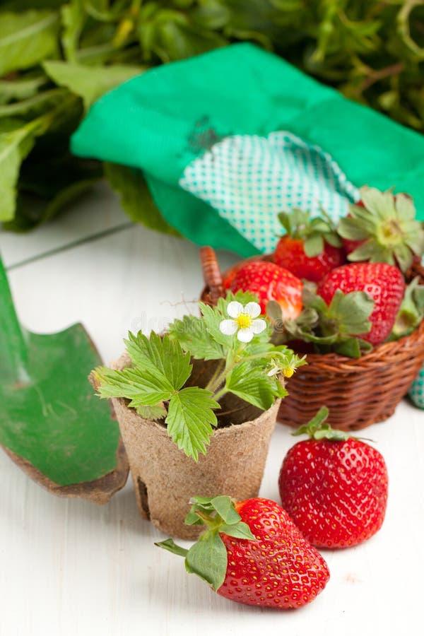 Verse aardbeien en tuinhulpmiddelen stock foto's