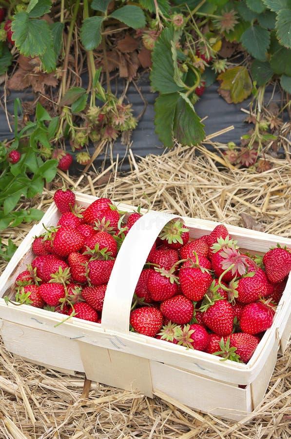 Verse aardbeien - van het gebied - II stock foto's